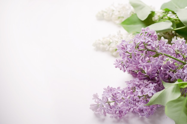 Flowering branch of white and purple lilac on a white background. copy space.