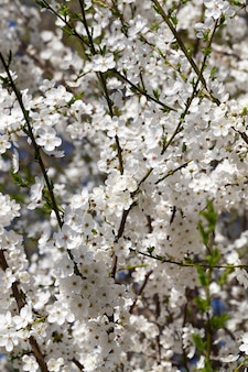 Flowering branches of fruit trees