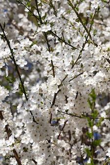 果樹の開花枝