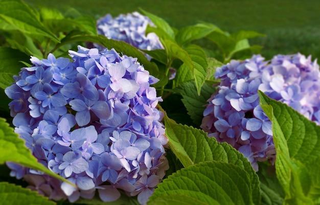 푸른 색 수국 근접 촬영 정원 디자인 꽃 관리 자연 배경의 꽃 부시