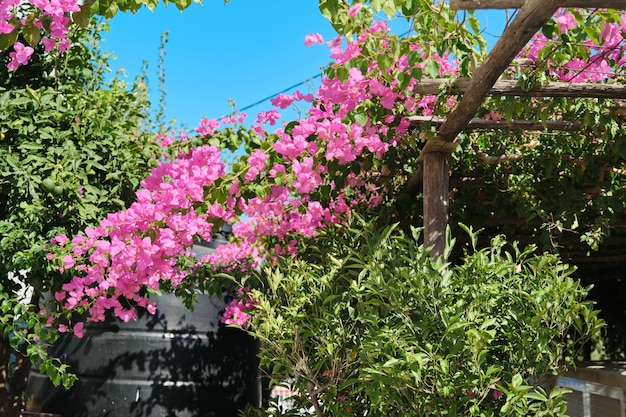 Flowering bush pink bougainvillea with pink flowers, background sky, wooden decorative supports. tourism, mediterranean, travel