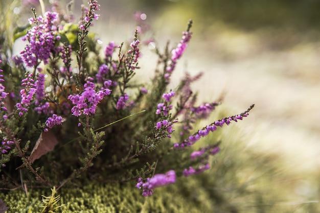青い空と白いふわふわの雲の下で開花するカルーナ尋常性(一般的なヘザー、リン、または単にヘザー)、丘陵地帯の紫色の花