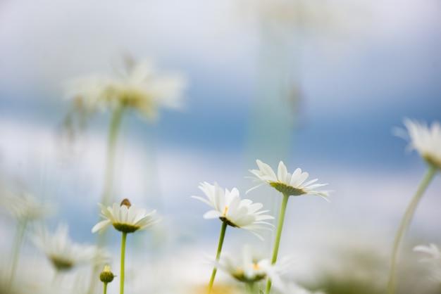 Цветение. ромашка. цветущее поле ромашки, цветы ромашки на лугу летом, выборочный фокус