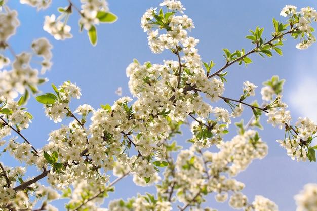 Flowering cherry against a blue sky