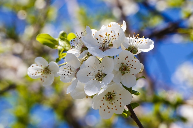Flowering cherry blossoms branches close up
