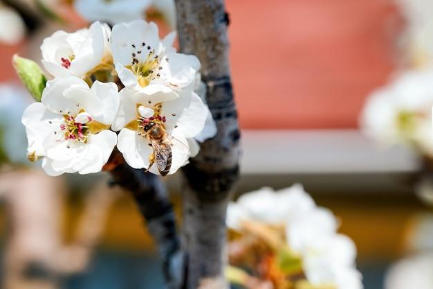 モルドバの桜果樹の開花