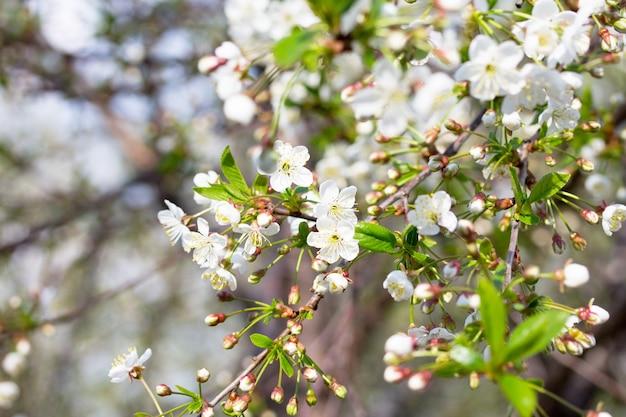 Цветущее вишневое дерево на фоне природы. весенние цветы. весенний фон.