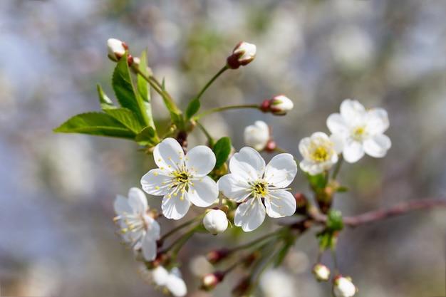 自然を背景に開花桜。春の花。春の背景。