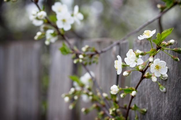 開花桜。春の花。春の背景。