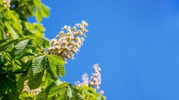 Цветущий каштан на фоне голубого неба в солнечную погоду. копировать space_