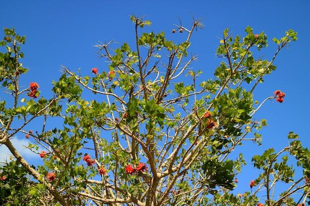 イースター島、チリの鮮やかな青い空を背景にオレンジ色の花と開花海岸サンゴ