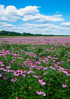 Цветущее поле подсолнечника