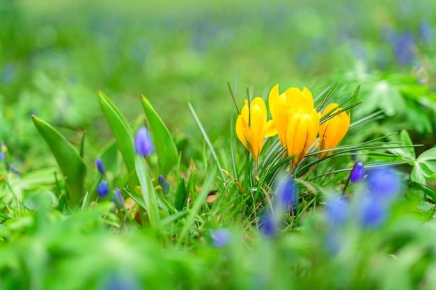 Цветущие крокусы цветы весной.