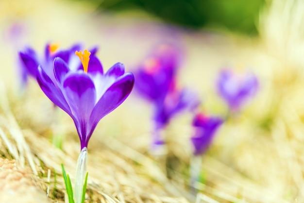 Flowering crocuses closeup