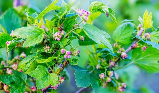 開花スグリ。春のスグリの枝に鮮やかな緑の葉と花