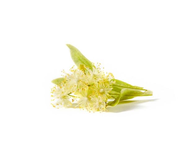 Цветение свежесобранных натуральных веток дерева липы или тилии с небольшими желтыми ароматическими цветами, изолированными на белом фоне, копией пространства. лекарственное растение