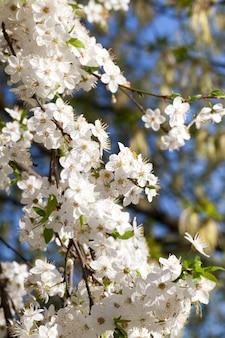 春の果樹の開花