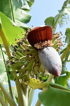 夏のバナナの木の開花果実