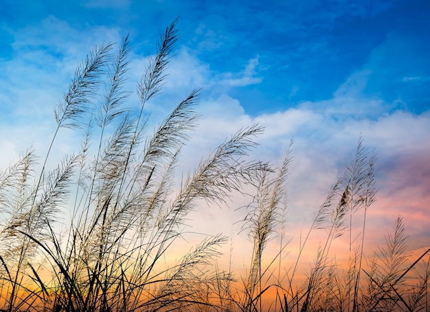 Flowering of grass in beautiful sunset background Premium Photo
