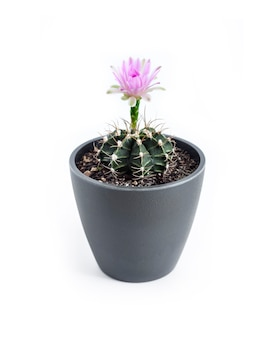 白い背景で隔離の鍋でgymnocalyciummihanovichiiサボテンの開花