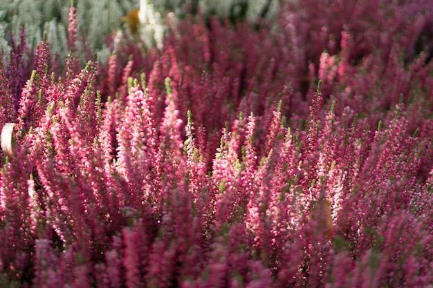 Flowering heather plant, erica flower, calluna or gardener heather