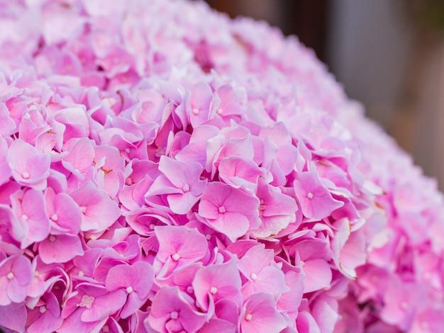 開花オルテンシア植物。 macrophyllaアジサイの美しい開花。