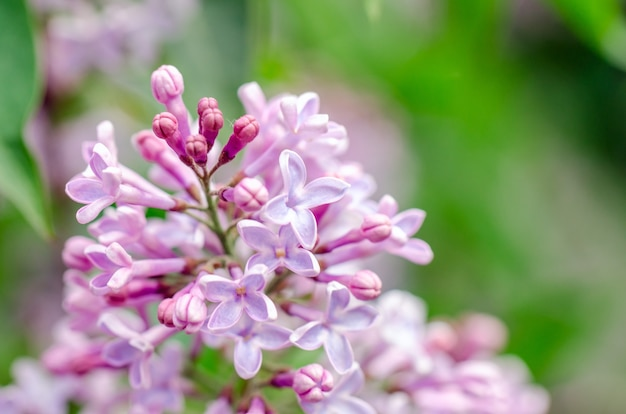Flowering lilac purple flowers on the background of blue sky. blooming branch of beautiful purple color.