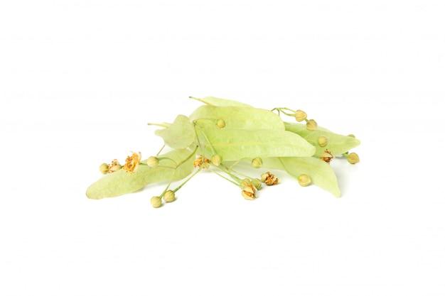 白で隔離される葉を持つシナノキの開花