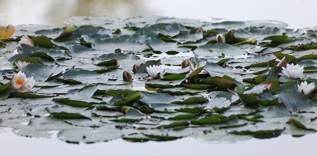 湖に花が咲く蓮の茂み