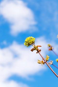 Цветущий клен крупным планом зеленые весенние времена в течение года голубое небо