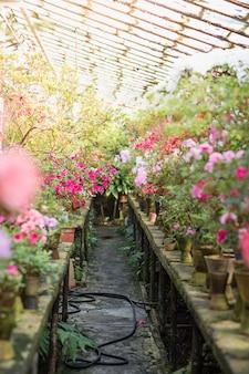 화창한 날에 오래 된 온실에서 화분에 화려한 진달래의 꽃.