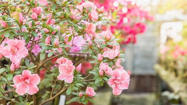 晴れた日の古い温室の植木鉢で色とりどりのツツジの開花。