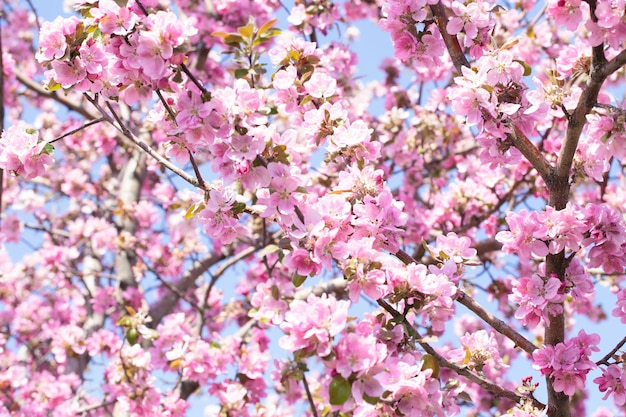 リンゴの木の枝の開花