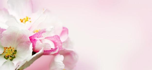 Цветение яблони. весенняя сцена цветущих цветов.