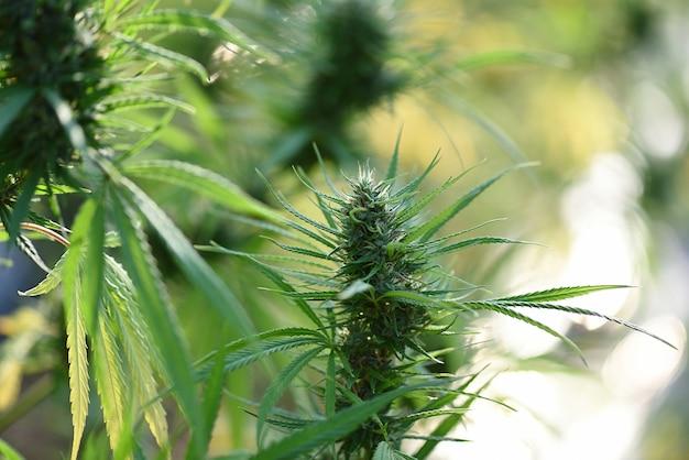 렌즈 플레어가있는 약용 식물 cbd의 개화