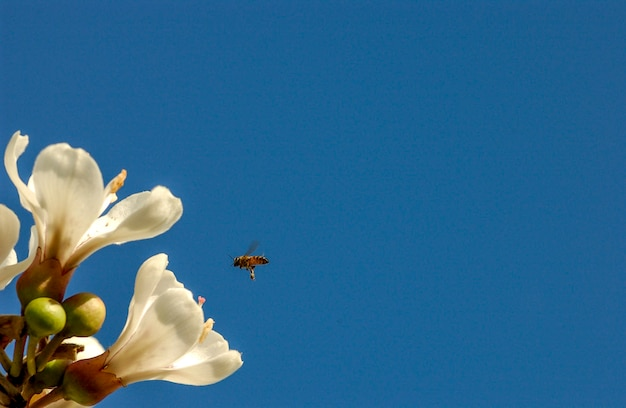 브라질에서 흰색 ipe의 꽃. 브라질 나무.