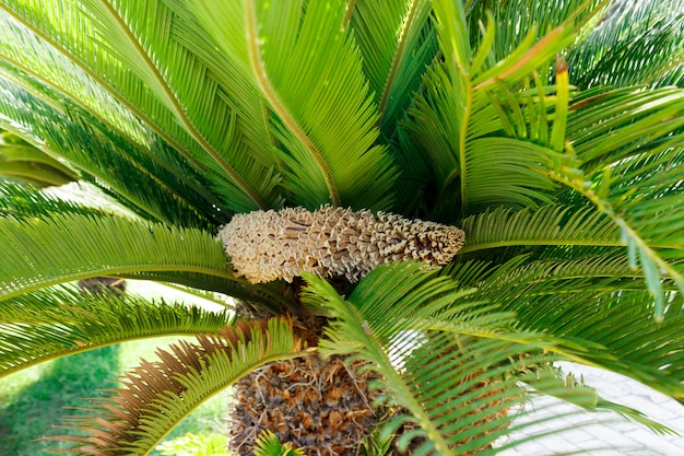 Flowering palm trees cone against the