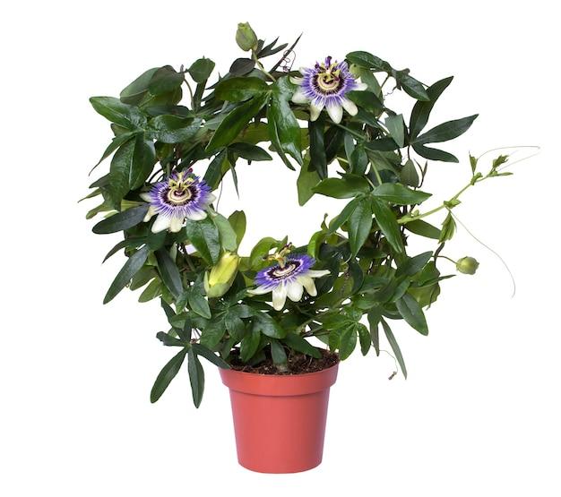 白い背景で隔離の鍋で開花パッションフローラパッションフラワー。