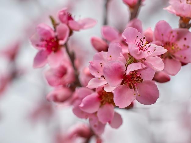 庭に桃を開花します。