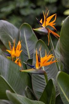 熱帯または植物園の顕花植物、オレンジ色の花と緑の植物の葉、世話と水国内および野生の植物と花、花屋、植物園または農民ストレチア植物