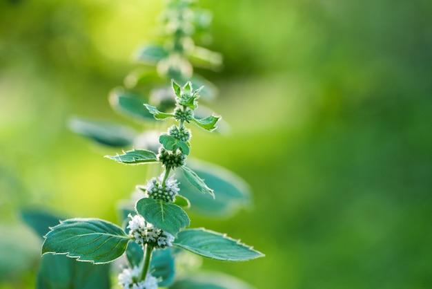 庭の顕花植物ペパーミント。
