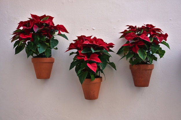 Flowering poinsettia plants (euphorbia pulcherrima) in pots hanging on a white wall. a traditional symbol of christmas and new year.
