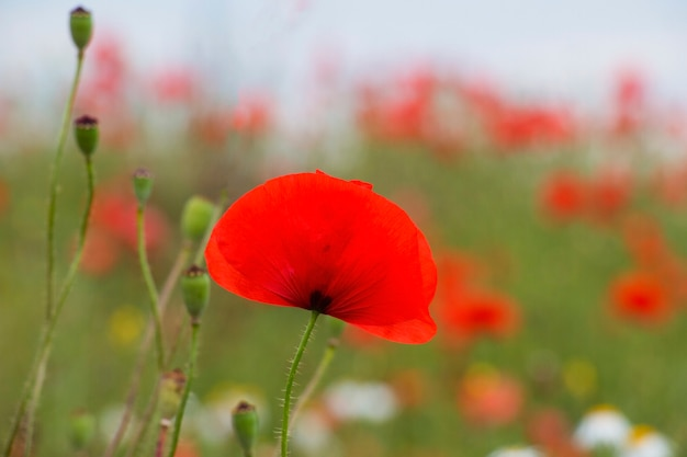 Flowering poppies on the field