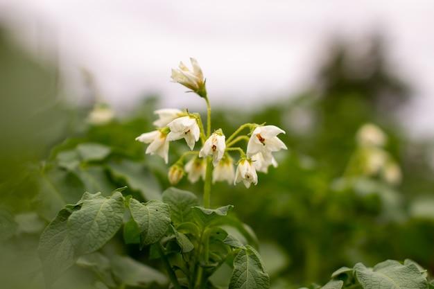 꽃이 만발한 감자. 햇빛에 핀 감자 꽃은 식물에서 자랍니다. 농장 필드에 흰색 피 감자 꽃입니다. 정원에서 유기농 야채 꽃 꽃 성장을 닫습니다. 유전자 조작이 아닙니다.