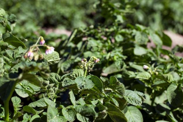 開花ジャガイモ、クローズアップ-夏の緑の開花ジャガイモ畑をクローズアップで撮影
