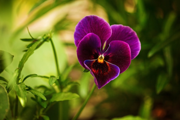 Flowering purple pansies in the garden as floral background in sunny day.