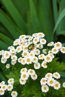 Flowering pyrethrum closeup with goldsmith beetle sitting on it