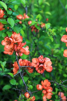 ソフトセレクティブフォーカスで開花マルメロ日本庭園春の背景