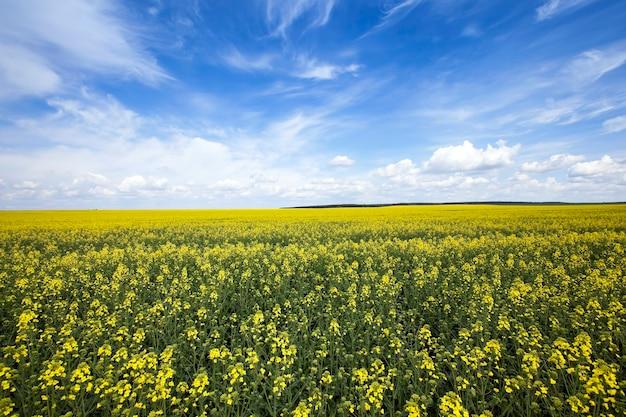 봄 시즌에 촬영 된 꽃이 만발한 강간. 노란 꽃