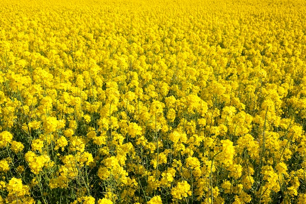 Цветущий рапс с желтыми цветами